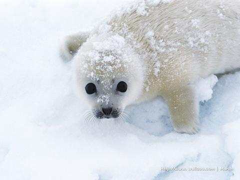 Cute white baby seal! - photo#25